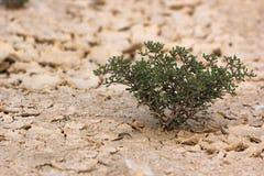 De dichte omhooggaande bovenkant van de woestijninstallatie Royalty-vrije Stock Fotografie