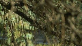 De dichte omhooggaande details van de spartak Groene naalden op de boom in de herfstseizoen Zacht panorama Prachtig aardlandschap stock footage