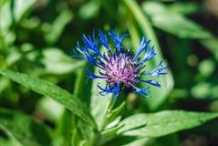 De dichte omhooggaande foto van Nice van mooie blauwe bloem De tuin van Nice Stock Afbeeldingen