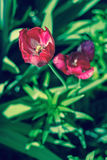 De dichte omhooggaande foto van Nice van tulp De tuin van Nice Royalty-vrije Stock Foto