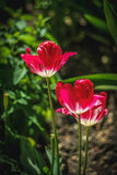 De dichte omhooggaande foto van Nice van tulp De tuin van Nice Stock Foto's