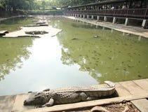 10 de diciembre de 2016 cocodrilos que descansan en la granja del cocodrilo y el movimiento del turista Imagen de archivo libre de regalías