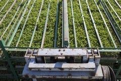 De dienbladen van tomatenzaailingen op aanhangwagenrekken Royalty-vrije Stock Foto's