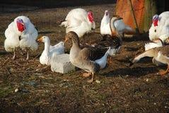 De dieren van het landbouwbedrijf royalty-vrije stock foto's
