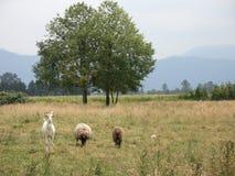 De dieren van het landbouwbedrijf stock afbeeldingen