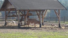 De dieren van het landbouwbedrijf Vele bruine en witte geiten drijven binnen bijeen stock videobeelden