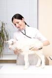 De dierenarts luistert aan een stethoscoop een geit Stock Foto's