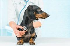 De dierenarts luistert hond stock afbeeldingen