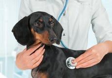 De dierenarts luistert hond in het ziekenhuis Stock Fotografie
