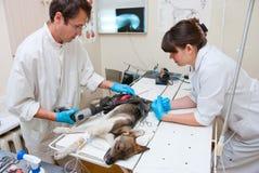 De dierenarts maakt chirurgie Stock Foto's