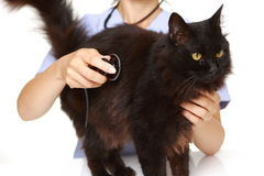 De dierenarts onderzoekt een kat Stock Afbeelding