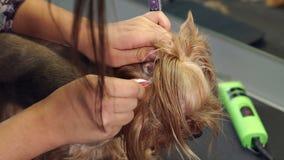 De dierenarts plukt haren van het oor van een kleine hond in een veterinaire kliniek stock videobeelden