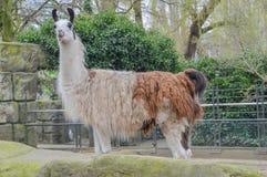 De Dierentuin Amsterdam van Lama Looking At You At Artis Neherlands royalty-vrije stock afbeeldingen