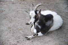 In de dierentuin Het beeld van de geit ligt op het zand royalty-vrije stock foto