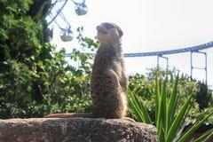 De dierentuin meerkat ziet eruit Stock Foto's