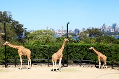 De Dierentuin Sydney van drie Giraffen @ Taronga stock foto's
