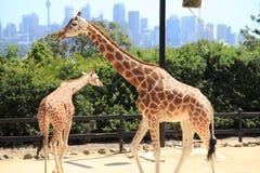 De Dierentuin Sydney van twee Giraffen @ Taronga stock foto