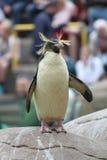 De Dierentuin van de Rockhopperpinguïn Royalty-vrije Stock Afbeelding
