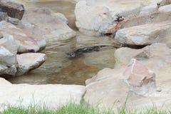 De Dierentuin van Little Rock - M. Otter-mens Stock Foto's