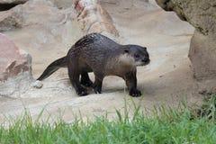 De Dierentuin van Little Rock - M. Otter-mens Royalty-vrije Stock Afbeeldingen