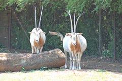 De Dierentuin van Oryxpretoria Stock Afbeeldingen