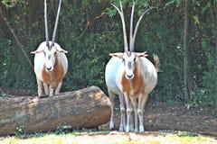 De Dierentuin van Oryxpretoria Stock Fotografie