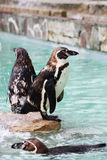 De Dierentuin van pinguïnen Stock Foto