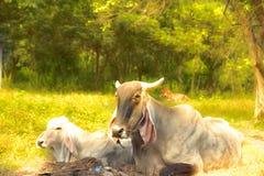 De dierlijke aard van de koe melkveehouderij in Thailand Royalty-vrije Stock Foto's
