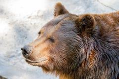 De dierlijke snuit van grote bruin draagt roofdier Stock Foto's