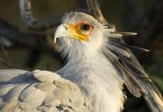 De Dierlijke Vogel Wildlfie van secretaressebird looks back Royalty-vrije Stock Afbeeldingen