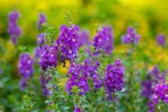 De Digitalis van de vingerhoedskruidbloem in de tuin Royalty-vrije Stock Fotografie