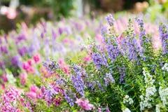 De Digitalis van de vingerhoedskruidbloem in de tuin Stock Foto's