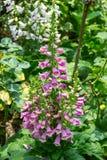 De Digitalis van de vingerhoedskruidbloem in de tuin Royalty-vrije Stock Afbeeldingen