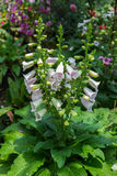 De Digitalis van de vingerhoedskruidbloem in de tuin Stock Fotografie