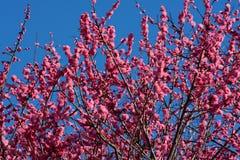 De dikke roze bloem komt op een kersenboom, of sakura tot bloei, vlak vóór het begin van de lentetijd in Japan stock afbeelding