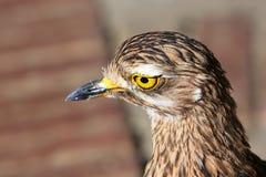 De dikke vogel van de Knie Royalty-vrije Stock Foto's