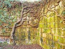 De dikke wijnstokken groeien op een oude geruïneerde muur royalty-vrije stock afbeeldingen