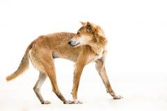 De dingo van Australien - wilde hond - kritisch endangere Royalty-vrije Stock Foto's