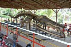 De dinosaurus beent megladon uit, gevonden in modder op de banken van de mekong rivier Royalty-vrije Stock Fotografie