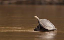 de Dios madre Peru rzeki żółw obraz stock