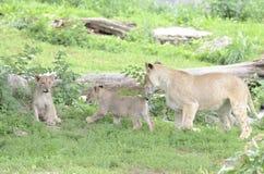 De discipline van de leeuw stock afbeelding
