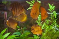 De discussen van Colorfull in aquarium Royalty-vrije Stock Foto's