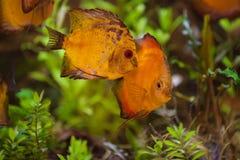 De discussen van Colorfull in aquarium Stock Foto's