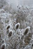 De distels van de winter Stock Foto's