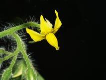 De distinctieve bloem van de tomatenplant royalty-vrije stock afbeeldingen
