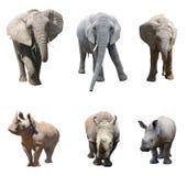 De diverse houdingen van de Afrikaanse olifant en de witte rinoceros of vierkant-lipped rinoceros op witte achtergrond stock fotografie