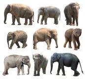 De diverse houdingen van de Aziatische olifant op witte achtergrond, Super Reeks Stock Fotografie
