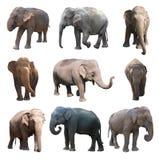 De diverse houdingen van de Aziatische olifant op witte achtergrond, Super Reeks Royalty-vrije Stock Afbeeldingen