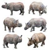 De diverse houdingen van de Indische rinoceros of grotere één-gehoornde rinoceros op witte achtergrond, Super Reeks stock foto's