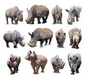 De diverse houdingen van de zwarte rinoceros en witte rinoceros op witte achtergrond stock foto's